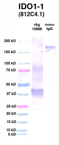 Click to enlarge image Western Blot using CPTC-IDO1-1 as primary Ab against IDO1 (Ag 10898) (lane 2). Also included are molecular wt. standards (lane 1) and mouse IgG control (lane 3).