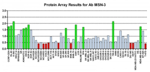 Click to enlarge image Protein Array in which CPTC-MSN-3 is screened against the NCI60 cell line panel for expression. Data is normalized to a mean signal of 1.0 and standard deviation of 0.5. Color conveys over-expression level (green), basal level (blue), under-expression level (red).