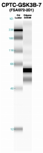 Click to enlarge image Western Blot using CPTC-GSK3B-7 as primary Ab against recombinant GSK3B (lane 2). Also included are molecular wt. standards (lane 1).