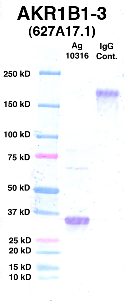 Click to enlarge image Western Blot using CPTC-AKR1B1-3 as primary Ab against Ag 10316 (lane 2). Also included are molecular wt. standards (lane 1) and mouse IgG control (lane 3).