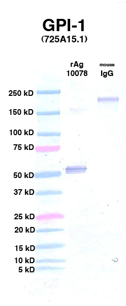 Click to enlarge image Western Blot using CPTC-GPI-1 as primary Ab against Ag 10078 (lane 2). Also included are molecular wt. standards (lane 1) and mouse IgG control (lane 3).