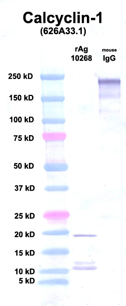 Click to enlarge image Western Blot using CPTC-Calcyclin-1 as primary Ab against Ag 10268 (lane 2). Also included are molecular wt. standards (lane 1) and mouse IgG as a positive control (lane 3).