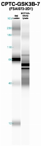 Click to enlarge image Western Blot using CPTC-GSK3B-7 as primary Ab against MCF10A-KRAS cell lysate (lane 2). Also included are molecular wt. standards (lane 1).