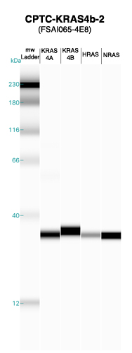 Click to enlarge image Western blot of CPTC-KRAS4b-2 antibody with full length KRAS4a,KRAS4b, H-RAS and N-RAS recombinant proteins.
