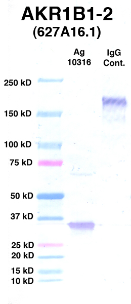 Click to enlarge image Western Blot using CPTC-AKR1B1-2 as primary Ab against Ag 10316 (lane 2). Also included are molecular wt. standards (lane 1) and mouse IgG control (lane 3).