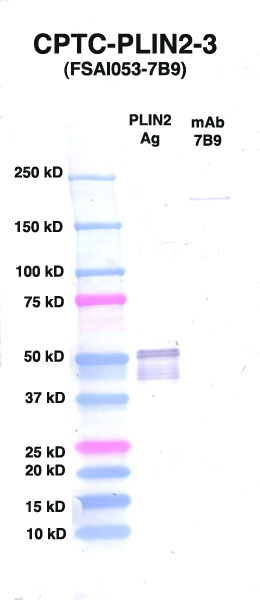 Click to enlarge image Western Blot using CPTC-PLIN2-3 as primary Ab against PLIN2 (rAg 00092) (lane 2). Also included are molecular wt. standards (lane 1) and mouse IgG control (lane 3).