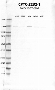 Click to enlarge image Western Blot using CPTC-ZEB2-1 as primary antibody against cell lysates A549, H226, HeLa, Jurkat and MCF7. Expected MW of 136 KDa. Positive for A549, Hela, Jurkat and weak for H226 and MCF7.  Molecular weight standards are also included (lane 1).