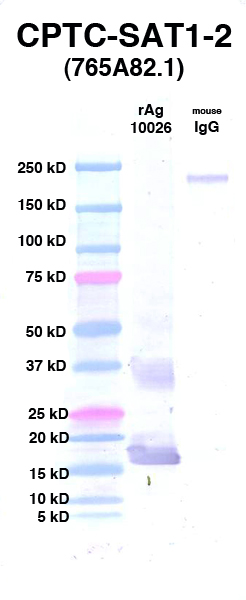 Click to enlarge image Western Blot using CPTC-SAT1-2 as primary Ab against rAg 10026 (lane 2). Also included are molecular wt. standards (lane 1) and mouse IgG control (lane 3).