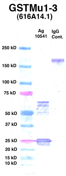 Click to enlarge image Western Blot using CPTC-GSTMu1-3 as primary Ab against Ag 10541 (lane 2). Also included are molecular wt. standards (lane 1) and mouse IgG control (lane 3).