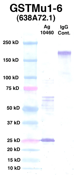 Click to enlarge image Western Blot using CPTC-GSTMu1-6 as primary Ab against Ag 10460 (lane 2). Also included are molecular wt. standards (lane 1) and mouse IgG control (lane 3).