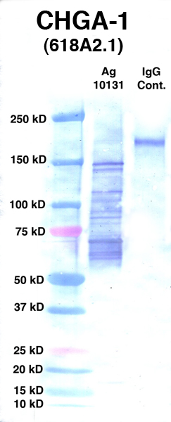 Click to enlarge image Western Blot using CPTC-CHGA-1 as primary Ab against Ag 10131 (lane 2). Also included are molecular wt. standards (lane 1) and mouse IgG control (lane 3).