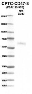 Click to enlarge image Western Blot using CPTC-CD47-3 as primary Ab against rec. CD47 (rAg 00271) (lane 2). Also included are molecular wt. standards (lane 1)