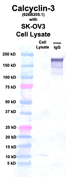 Click to enlarge image Western Blot using CPTC-Calcyclin-3 as primary Ab against cell lysate from SK-OV3 cells (lane 2). Also included are molecular wt. standards (lane 1) and mouse IgG control (lane 3).