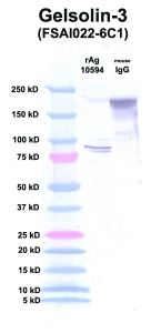 Click to enlarge image Western Blot using CPTC-Gelsolin-3 as primary Ab against Gelsolin (rAg 10594) in lane 2. Also included are molecular wt. standards (lane 1) and mouse IgG control (lane 3).