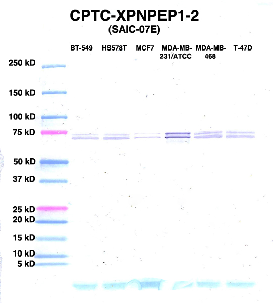 Click to enlarge image Western Blot using CPTC-XPNPEP1-2 as primary Ab against lysates from six breast cancer cell lines from the NCI60 cell line collection (lanes 2-7). Also included are molecular wt. standards (lane 1).