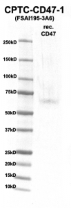 Click to enlarge image Western Blot using CPTC-CD47-1 as primary Ab against rec. CD47 (rAg 00271) (lane 2). Also included are molecular wt. standards (lane 1)