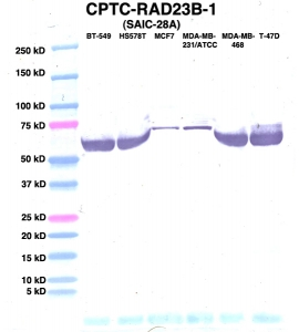 Click to enlarge image Western Blot using CPTC-RAD23B-1 as primary Ab against lysates from six breast cancer cell lines from the NCI60 cell line collection (lanes 2-7). Also included are molecular wt. standards (lane 1).