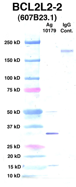 Click to enlarge image Western Blot using CPTC-BCL2L2-2 as primary Ab against Ag 10179 (lane 2). Also included are molecular wt. standards (lane 1) and mouse IgG control (lane 3).