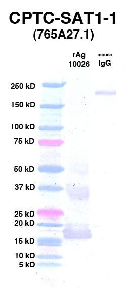 Click to enlarge image Western Blot using CPTC-SAT1-1 as primary Ab against rAg 10026 (lane 2). Also included are molecular wt. standards (lane 1) and mouse IgG control (lane 3).