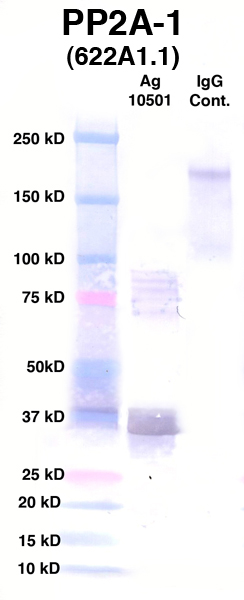 Click to enlarge image Western Blot using CPTC-PP2A-1 as primary Ab against Ag 10501 (lane 2). Also included are molecular wt. standards (lane 1) and mouse IgG control (lane 3).
