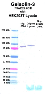 Click to enlarge image Western Blot using CPTC-Gelsolin-3 as primary Ab against cell lysate from transiently overexpressed HEK293T cells form Origene (lane 3). Also included are molecular wt. standards (lane 1), lysate from non-transfected HEK293T cells as neg control (lane 4) and recombinant Ag Gelsolin (NCI 10594) in (lane 2).
