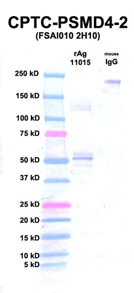 Click to enlarge image Western Blot using CPTC-PSMD4-2 as primary Ab against rAg 11015 (PSMD4) (lane 2). Also included are molecular wt. standards (lane 1) and mouse IgG as control for goat anti-mouse HRP secondary binding (lane 3).