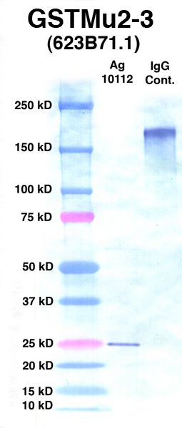 Click to enlarge image Western Blot using CPTC-GSTMu2-3 as primary Ab against Ag 10112 (lane 2). Also included are molecular wt. standards (lane 1) and mouse IgG control (lane 3).