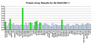 Click to enlarge image Protein Array in which CPTC-KIAA1967-1 is screened against the NCI60 cell line panel for expression. Data is normalized to a mean signal of 1.0 and standard deviation of 0.5. Color conveys over-expression level (green), basal level (blue), under-expression level (red).