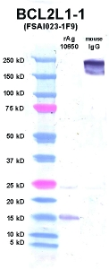 Click to enlarge image Western Blot using CPTC-BCL2L1-1 as primary Ab against BCL2L1 (rAg 10650) in lane 2. Also included are molecular wt. standards (lane 1) and mouse IgG control (lane 3).