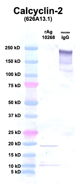 Click to enlarge image Western Blot using CPTC-Calcyclin-2 as primary Ab against Ag 10268 (lane 2). Also included are molecular wt. standards (lane 1) and mouse IgG as positive control (lane 3).