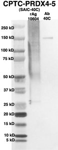 Click to enlarge image Western Blot using CPTC-PRDX4-5 as primary Ab against full-length recombinant Ag 10604 (lane 2). Also included are molecular wt. standards (lane 1) and the PRDX4-5 Ab as positive control (lane 3).
