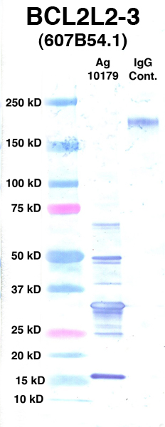 Click to enlarge image Western Blot using CPTC-BCL2L2-3 as primary Ab against Ag 10179 (lane 2). Also included are molecular wt. standards (lane 1) and mouse IgG control (lane 3).