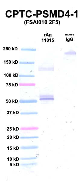 Click to enlarge image Western Blot using CPTC-PSMD4-1 as primary Ab against rAg 11015 (PSMD4) (lane 2). Also included are molecular wt. standards (lane 1) and mouse IgG as control for goat anti-mouse HRP secondary binding (lane 3).