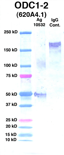 Click to enlarge image Western Blot Using CPTC-ODC1-2 as primary Ab against Ag 10532(Lane 2). Also included are Molecular Weight markers (Lane 1) and mouse IgG positive control (Lane 3).
