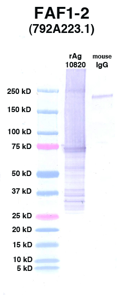 Click to enlarge image Western Blot using CPTC-FAF1-2 as primary Ab against FAF1 (rAg 10820) in lane 2. Also included are molecular wt. standards (lane 1) and mouse IgG control (lane 3).