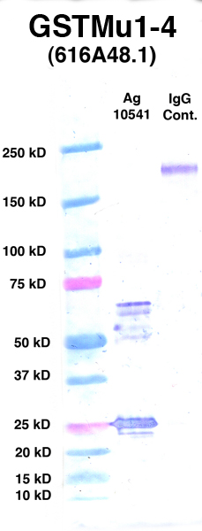 Click to enlarge image Western Blot using CPTC-GSTMu1-4 as primary Ab against Ag 10541 (lane 2). Also included are molecular wt. standards (lane 1) and mouse IgG control (lane 3).