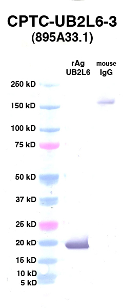 Click to enlarge image Western Blot using CPTC-UB2L6-3 as primary Ab against UB2L6 (rAg 00012) (lane 2). Also included are molecular wt. standards (lane 1) and mouse IgG control (lane 3).