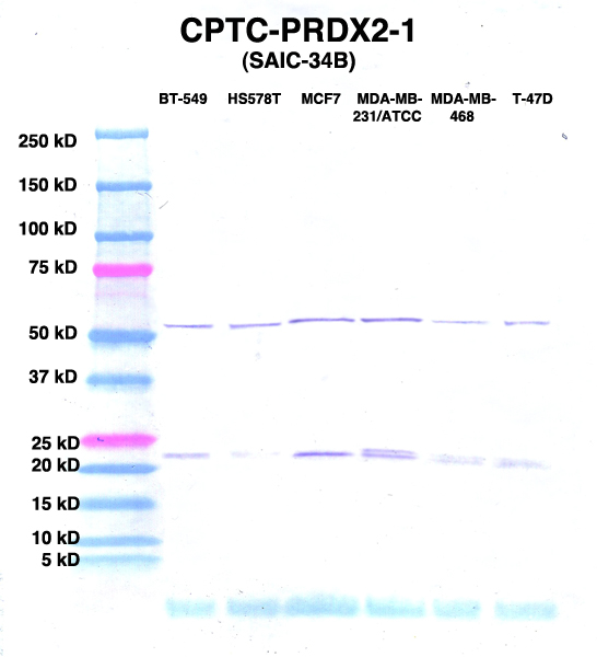 Click to enlarge image Western Blot using CPTC-PRDX2-1 as primary Ab against lysates from six breast cancer cell lines from the NCI60 cell line collection (lanes 2-7). Also included are molecular wt. standards (lane 1).