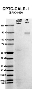 Click to enlarge image Western Blot using CPTC-CALR-1 as primary Ab against HEK293T cell lysate containing CALR (from Origene) in lane 2. Also included are molecular wt. standards (lane 1) and the CALR-1 Ab as the IgG control (lane 3).