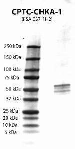 Click to enlarge image Western Blot using CPTC-CHKA-1 as primary Ab against CHKA (rAg 00008) (lane 2). Also included are molecular wt. standards (lane 1).
