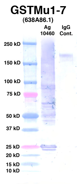 Click to enlarge image Western Blot using CPTC-GSTMu1-7 as primary Ab against Ag 10460 (lane 2). Also included are molecular wt. standards (lane 1) and mouse IgG control (lane 3).