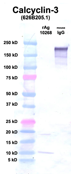Click to enlarge image Western Blot using CPTC-Calcyclin-3 as primary Ab against Ag 10268 (lane 2). Also included are molecular wt. standards (lane 1) and mouse IgG as a positive control (lane 3).