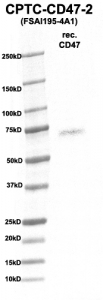 Click to enlarge image Western Blot using CPTC-CD47-2 as primary Ab against rec. CD47 (rAg 00271) (lane 2). Also included are molecular wt. standards (lane 1)