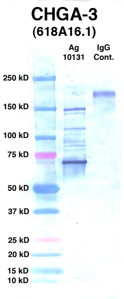 Click to enlarge image Western Blot using CPTC-CHGA-3 as primary Ab against Ag 10131 (lane 2). Also included are molecular wt. standards (lane 1) and mouse IgG control (lane 3).