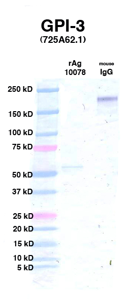 Click to enlarge image Western Blot using CPTC-GPI-3 as primary Ab against Ag 10078 (lane 2). Also included are molecular wt. standards (lane 1) and mouse IgG control (lane 3).