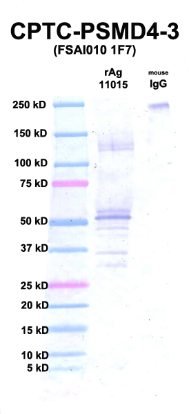 Click to enlarge image Western Blot using CPTC-PSMD4-3 as primary Ab against rAg 11015 (PSMD4) (lane 2). Also included are molecular wt. standards (lane 1) and mouse IgG as control for goat anti-mouse HRP secondary binding (lane 3).