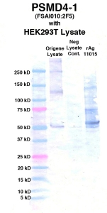 Click to enlarge image Western Blot using CPTC-PSMD4-1 as primary Ab against cell lysate from transiently overexpressed HEK293T cells form Origene (lane 2). Also included are molecular wt. standards (lane 1), lysate from non-transfected HEK293T cells as neg control (lane 3) and recombinant Ag PSMD4 (NCI 11015) in (lane 4).