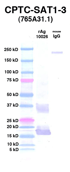 Click to enlarge image Western Blot using CPTC-SAT1-3 as primary Ab against rAg 10026 (lane 2). Also included are molecular wt. standards (lane 1) and mouse IgG control (lane 3).