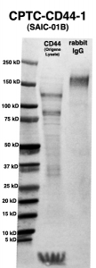 Click to enlarge image Western Blot using CPTC-CD44-1 as primary Ab against HEK293T cell lysate containing CD44 (from Origene) in lane 2. Also included are molecular wt. standards (lane 1) and the CD44-1 Ab as the IgG control (lane 3).
