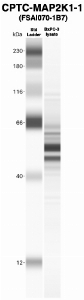 Click to enlarge image Western Blot using CPTC-MAP2K1-1 as primary Ab against MCF10A-KRAS cell lysate (lane 2). Also included are molecular wt. standards (lane 1).